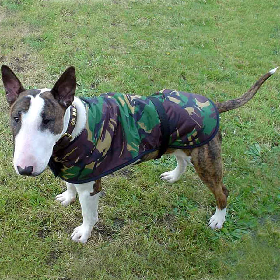"An English bull terrier in his 16"" 'Forester' coat"